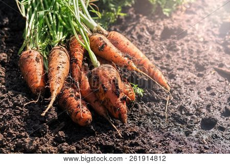 Fresh Carrots With Greens On The Ground. Unwashed Carrots In The Garden Close-up. Selective Focus
