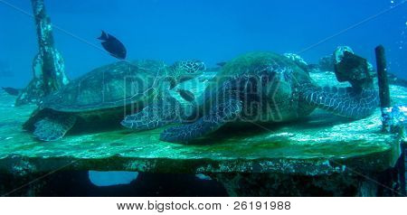 green turtles Chelonia mydas resting on shipwreck of St Albert in Maui, Hawaii