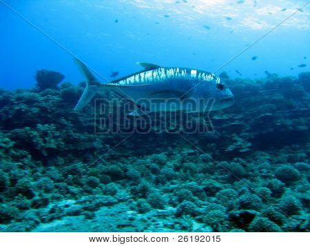 large jackfish patrolling reef in maui