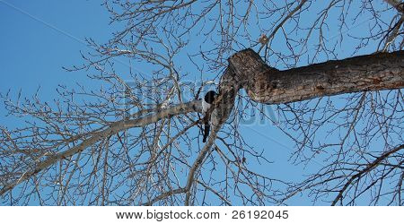 black magpie Corvidae resting in bare branches against clear blue sky; Calgary, Alberta