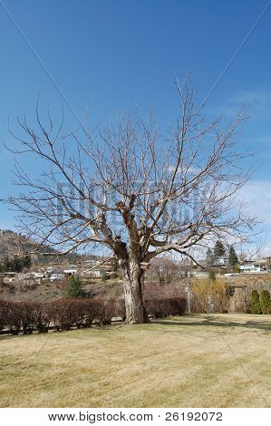 White walnut tree against blue sky; Okanagan Valley, BC, Canada