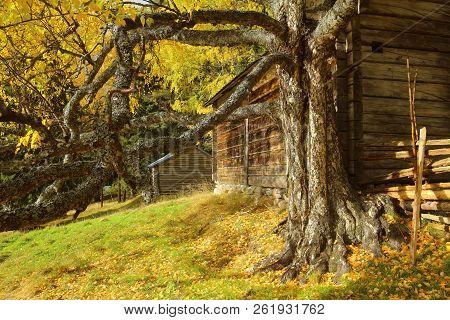 Old And Knotty Birch In Front Of Log Hut In Gallejaur In Norrbotten, Sweden.