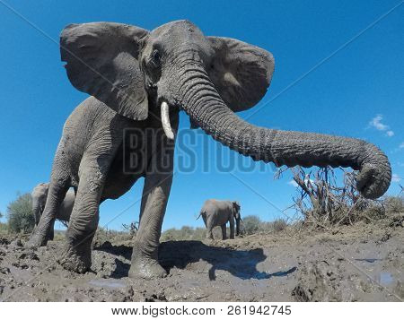 African Elephants. Close up view Elephant herd in Kenya