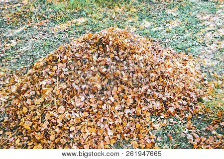 Pile Of Autumn Leaves. A Large Pile Of Fallen Leaves Lying On The Grass