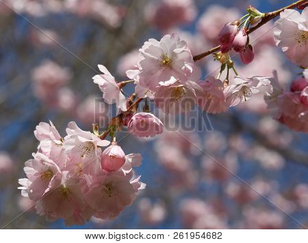Pink Pastel Cherry Blossom Twig - Closeup