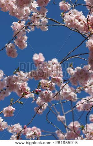 Pink Pastel Cherry Blossom Branches - Blue Sky In Background