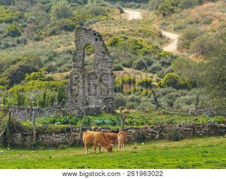 Grazing Cattle And A Crumbling Stone Wall Along The Camino Track Towards La Cruz De Ferro - Foncebad
