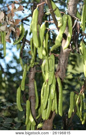 Carob pods starting to ripen on a tree. The carob was the main source of sugar before sugarcane and beet and is now a largely neglected crop but is still used in animal feed and as a sweetener.