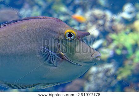 Tropical Fish Pomacentridae In A Marine Aquarium In Blue Optics Acanthomorphata