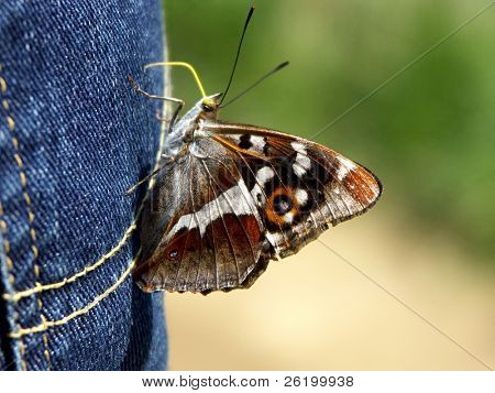 Butterfly on blue jeans poster