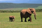 African Elephant Cow and Calf walking across the African Savanah poster