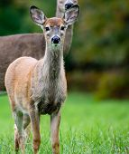 White-tailed deer (odocoileus virginianus) fawn in September poster