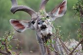 Hilarious to see the majestic Kudu in such a funny pose! poster