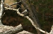 Black Capped Chickadee in a tree in our back yard poster
