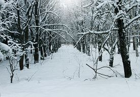Winter Nature, Snowy Wild Forest A Landscape