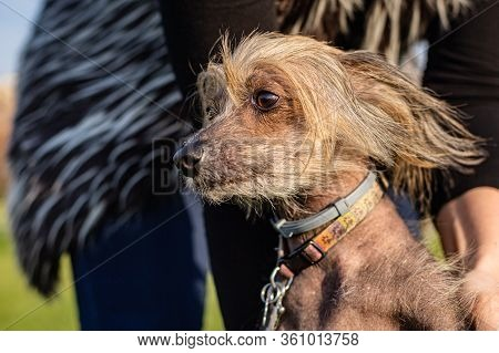 Side View Of A Chinese Crested Dog Being Held On Leash. A Sunny Spring Day In A Park. Human Body And