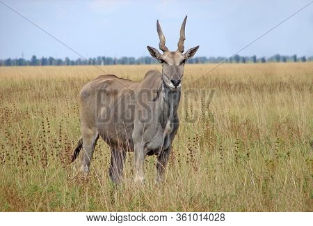 Canna Antelope In Grass Habitat, Animals National Park. Wildlife Concept