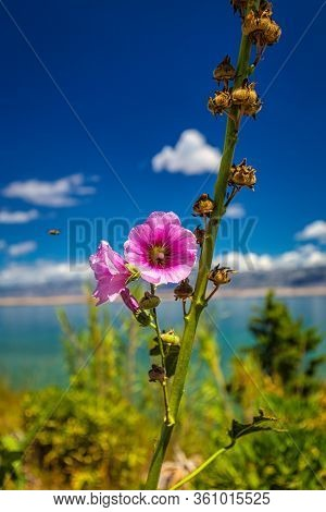 Hollyhock - Alcea Rosea Flower, Sea And Blue Sky With Clouds In Background, Croatia, Europe.