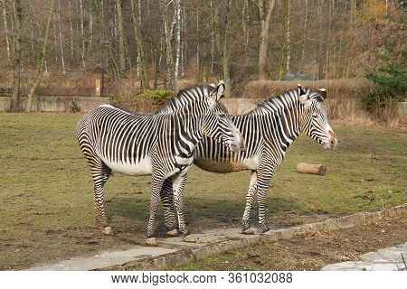 Two Grevy´s Zebras (equus Grevyi) In The Outdoor Enclosure In The Zoo
