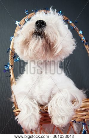 Funny Close-up Portrait Of A Young West Highland White Terrier On A Grey Background, West Highland W