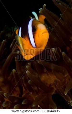 Clarke's Anemonefish (Clownfish). Fish and anemone