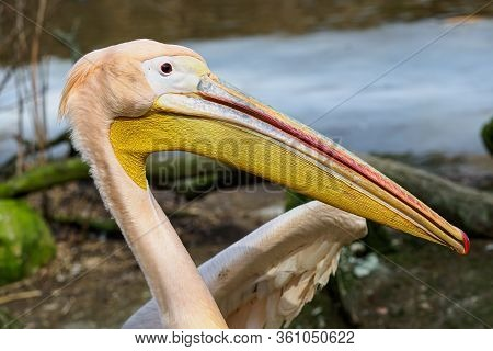 Pelecanus Onocrotalus Also Known As The Eastern White Pelican, Rosy Pelican Or White Pelican.
