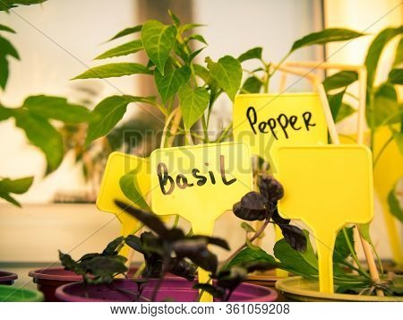 Pots With Seedlings. A Tag With The Name Of The Plant Stuck In The Ground. Lettering On The Tag. Bas