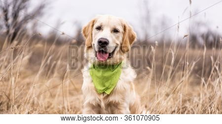 Beautiful young golden retriever lying in high grass