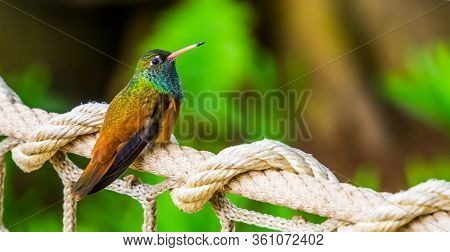 Closeup Portrait Of An Amazilia Humming Bird, Popular And Small Tropical Bird Specie From America