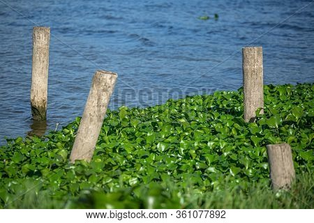 View Of Lake With Common Water Hyacinths, On The Bank, Stakes Made Of Wooden Logs, In Pateira De Fer