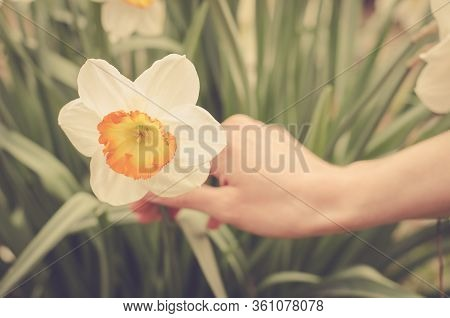 Flowering Daffodil. The Hand Of A Young Girl Holds A Flower. Spring Flowers In The Garden. Matte Tin