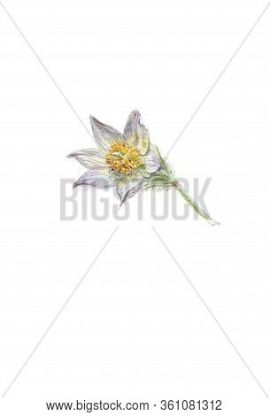 Spring-flowering Pasque Pulsatilla Flowers. Hand Drawn Flower, Floral Watercolor Illustration. A Pic