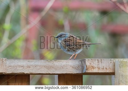 Dunnock - Prunella Modularis Is Small Passerine Brown And Grey Or Blue Bird, Found In Europe And Asi