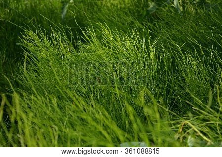 Lush Green Horsetails In Summer Day. Equisetum.