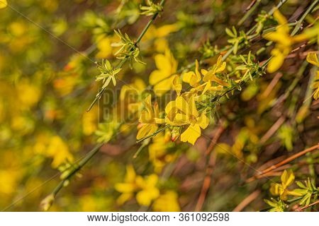 Blooming Forsythia Flowers Branch In Springtime. Beautiful Yellow Flowers In The Village. Nature Blu