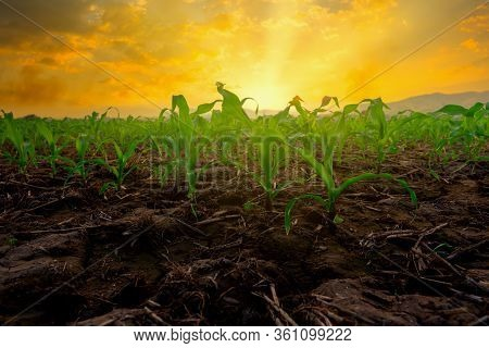 Maize Seedling In The Agricultural Garden With The Sunset With Sunbeam
