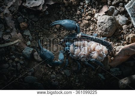 Top View Of A Female Scorpion With The Newborn On Back, Giant Forest Scorpion Species