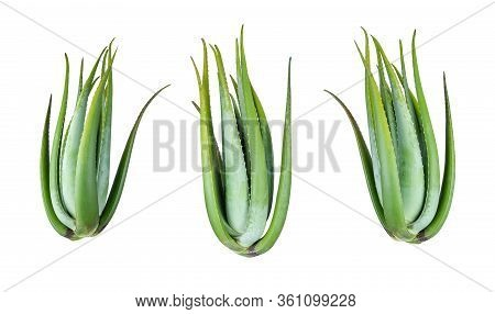 Collection Of Four Green Aloe Vera Plant Isolated On White Background, File Contains A Clipping Path