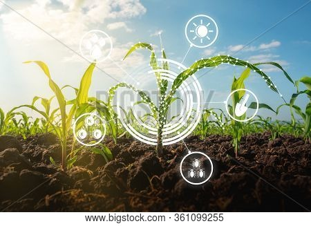 Maize Seedling In The Cultivated Agricultural Field With Low Poly Graphic Style, Modern Technology C