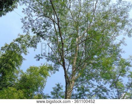 Albizia Chinensis (silk Tree, Chinese Albizia, Kool, Khang Hung, Kang Luang, Cham, Sengon) Tree With