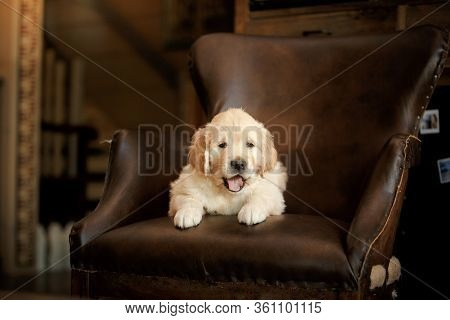 Golden Retriever Puppy At Home. Dog On The Background Of The Fireplace.