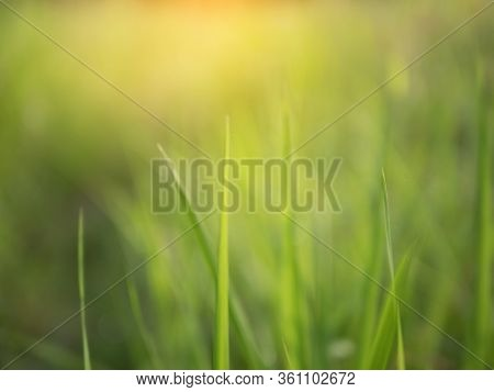 Blurred Background Of Green Natural. Grass Filed On The Morning With Sunray Effect.