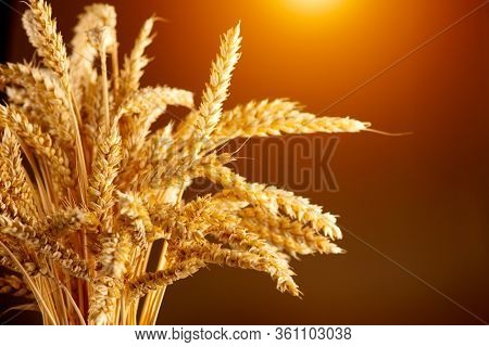 Wheat field. Ears of golden wheat close up. Beautiful sheaf. Rural Scenery under Shining Sunlight. Background of ripening ears of meadow wheat field. Rich harvest Concept. Ads
