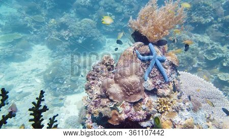 Blue Starfish On A Coral Reef. A Blue Seastar Linkia Laevigata Clings To A Diverse Coral Reef. Under