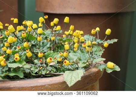Fresh Flowering Para Cress Plant, Spilanthes Oleracea