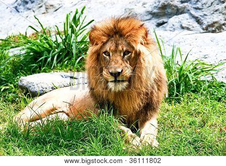 Lion Laydown In Zoo