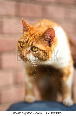 Close Up Portrait Of Red Cat With Yellow Eyes Looking Away. Ginger Red And White Cat. Homeless Red C