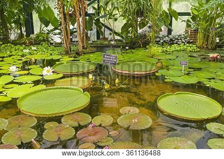 Blooming Victoria Amazonica In The Greenhouse Of A Botanical; Garden. The Russian Words At The Namep