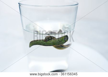 Hirudotherapy, Medical Leech On A White Background
