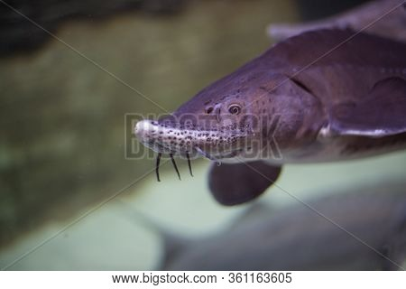 Big Sturgeon Fish Swims In Water, Behind Glass In An Aquarium